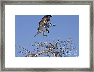 Framed Print featuring the photograph Coming In For A Landing by Anne Rodkin