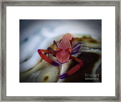 Commensal Shrimp, Fiji Framed Print