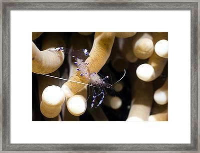 Commensal Shrimp On A Reef Framed Print