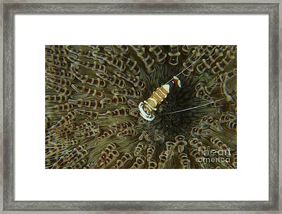 Commensal Shrimp On Brown Anemone Framed Print