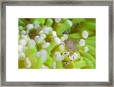 Commensal Shrimp On Green Anemone Framed Print
