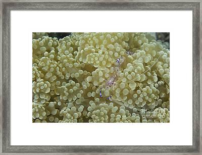 Commensal Shrimp On Soft Coral, Papua Framed Print