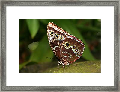 Framed Print featuring the photograph Common Blue Morpho by Laurel Talabere