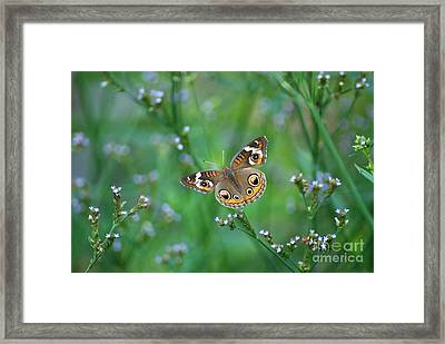 Common Buckeye Framed Print by Kathy Gibbons
