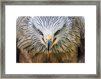 Common Buzzard Framed Print by Chris Hellier