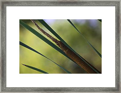 Framed Print featuring the photograph Common Cattail by Perla Copernik