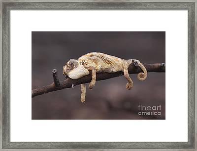 Common Chameleon  Framed Print