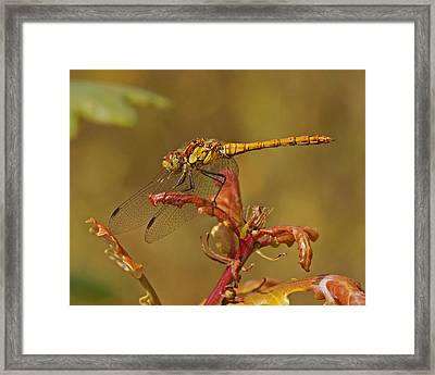 Framed Print featuring the photograph Common Darter 2 by Paul Scoullar
