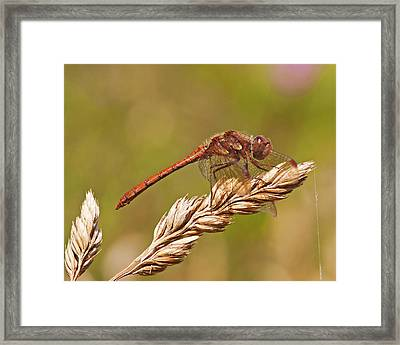 Framed Print featuring the photograph Common Darter by Paul Scoullar