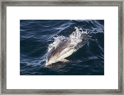 Common Dolphin Delphinus Delphis Framed Print by Rich Reid