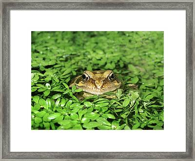 Common Frog Framed Print by Cordelia Molloy