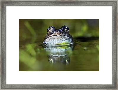 Common Frog In Pond Framed Print by Iain Lawrie