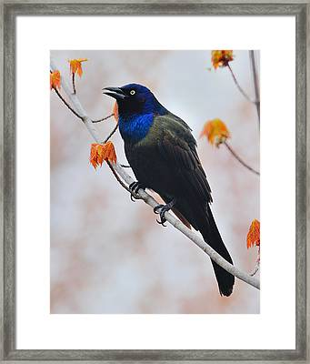 Common Grackle Framed Print by Tony Beck