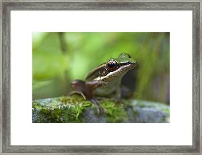Common Greenback Frog II Framed Print