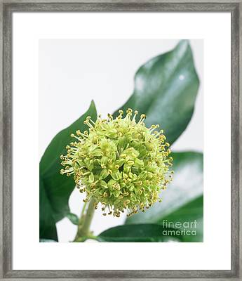 Common Ivy (hedera Helix) Flower Head Framed Print by Sheila Terry
