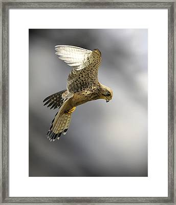 Common Kestrel Hunting Framed Print by Linda Wright