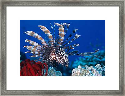 Common Lionfish Framed Print by Franco Banfi and Photo Researchers