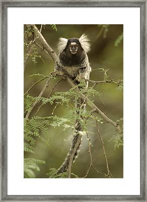 Common Marmoset Callithrix Jacchus Framed Print by Pete Oxford