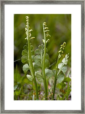 Common Moonwort (botrychium Lunaria) Framed Print by Bob Gibbons