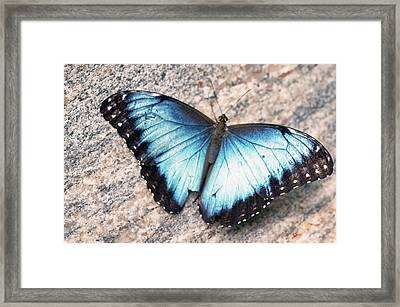 Common Morpho Framed Print by Cheryl Cencich
