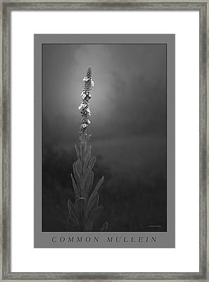 Common Mullein Framed Print by Ron Jones