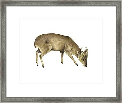 Common Muntjac Deer, Artwork Framed Print by Lizzie Harper