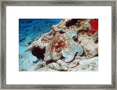 Common Octopus Framed Print by Georgette Douwma