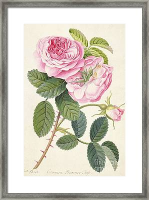 Common Provence Rose Framed Print