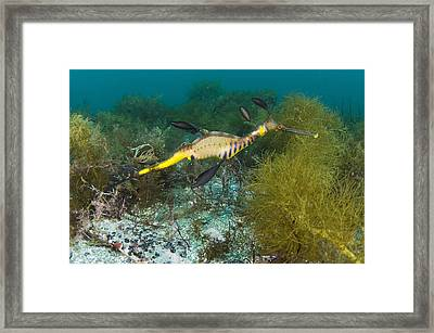 Common Sea Dragon Framed Print by Matthew Oldfield