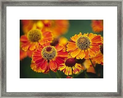 Common Sneezeweed (helenium Autumnale) Framed Print by Dr. Nick Kurzenko