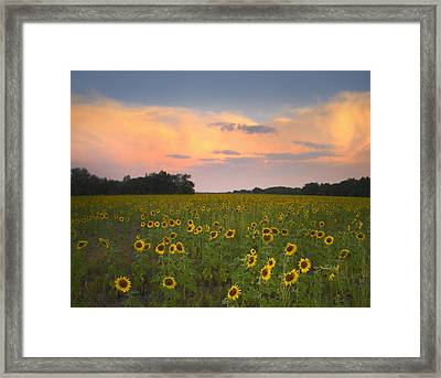 Common Sunflower Field Near Flint Hills Framed Print by Tim Fitzharris