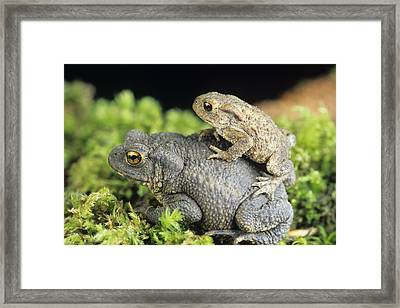 Common Toads Mating Framed Print by David Aubrey
