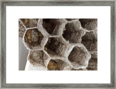 Common Wasp Larva Framed Print by Ted Kinsman