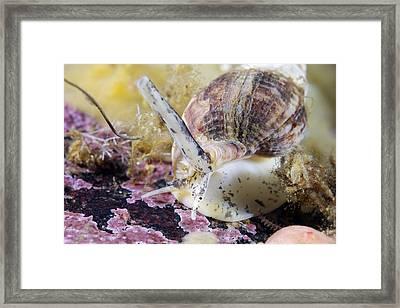 Common Whelk Framed Print by Alexander Semenov