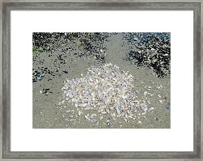 Community Of Shells Framed Print by Fredrik Ryden
