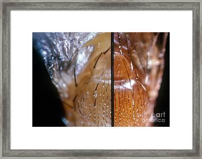 Comparing Drosophila Bristles Framed Print