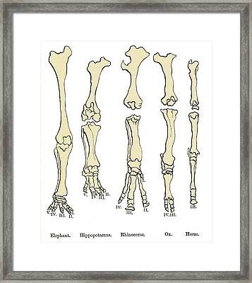 Comparison Of Animal Feet, Historical Art Framed Print by Sheila Terry