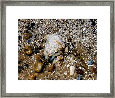 Conch Framed Print by Toma Caul