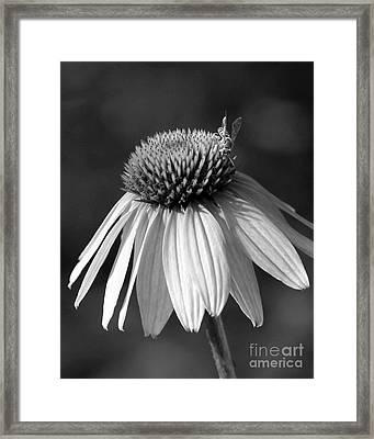 Cone Flower And A Bee Framed Print by Sabrina L Ryan