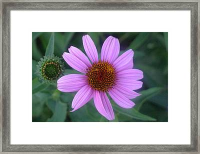 Cone Flower Framed Print by Linda Pope