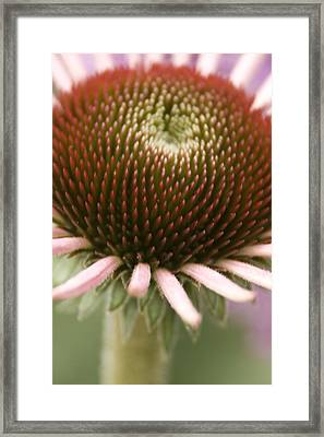 Cone Flower Studies 2012 - 2 Framed Print