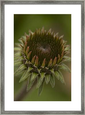 Cone Flower Studies 2012 - 3 Framed Print