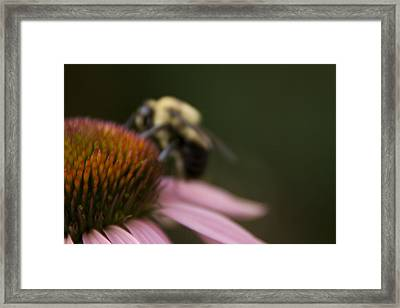 Cone Flower Studies 2012 - 5 Framed Print