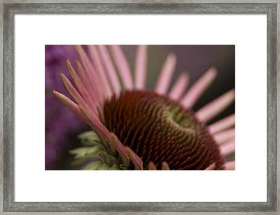 Cone Flower Studies 2012 Framed Print