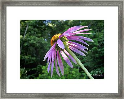 Framed Print featuring the photograph Cone Flower Sunrise by Nava Thompson