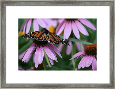 Framed Print featuring the photograph Cone Flowers And Monarch Butterfly by Kay Novy