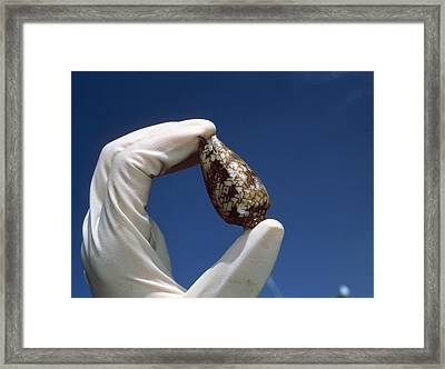 Cone Shell Research Framed Print by Volker Steger