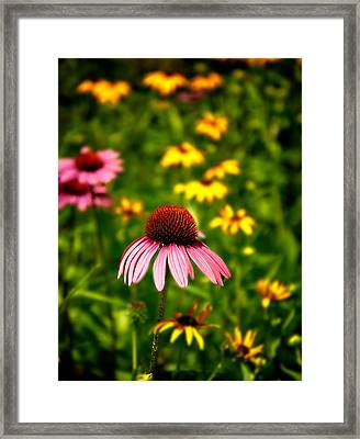 Coneflower At Waltham Woods Framed Print