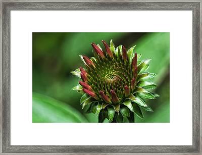 Coneflower Close-up Framed Print