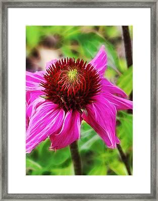 Coneflower Framed Print by Judi Bagwell